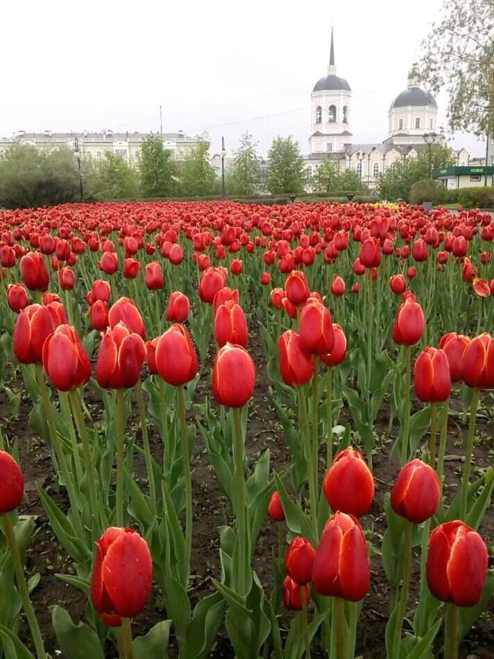 25 тысяч тюльпанов расцветут на городских клумбах весной 2020 года
